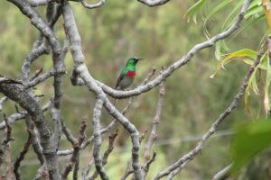 Lesser Half-collared Sunbird