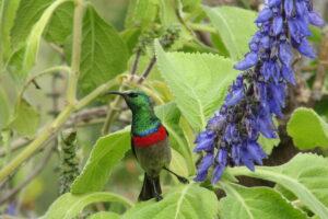 Half-collared Sunbird