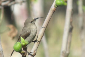 Female Lesser Half-Collared Sunbird