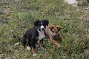 Max and Jock puppies